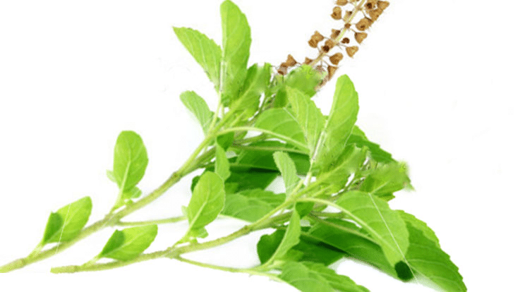 Tulsi, Haldi, Methi Dana Uses & Health Benefits for Child.