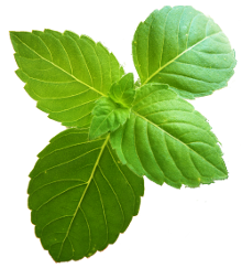 Tulsi leaves png » PNG Image.