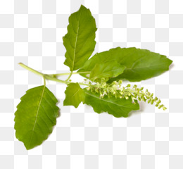 Tulsi PNG and Tulsi Transparent Clipart Free Download..