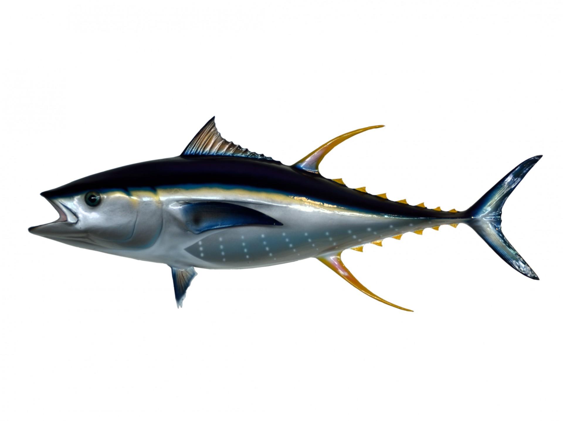 Tuna Clip Art Free Stock Photo.