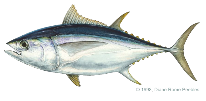Download Free png Tuna, bigeye (Atlantic).