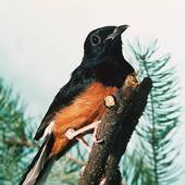 Stock Image of Juniors, Turdidae, animal, animals, bird, birds.