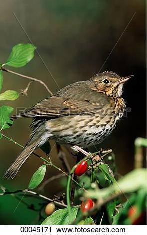 Stock Photography of Juniors, Turdidae, animal, animals, bird.