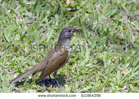 Turdidae Stock Photos, Royalty.