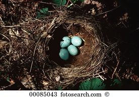 Thrush nest Stock Photo Images. 177 thrush nest royalty free.