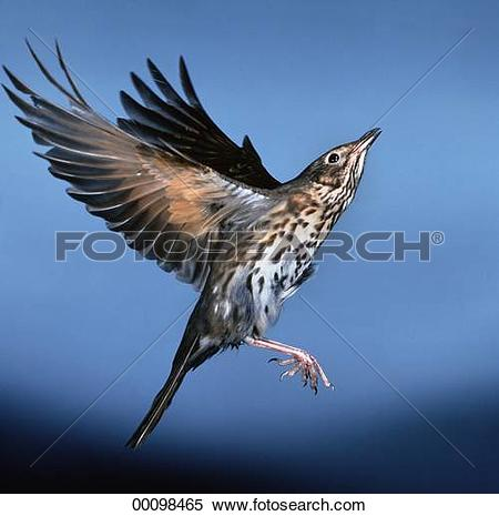 Stock Image of Juniors, Turdidae, animal, animals, bird, birds.