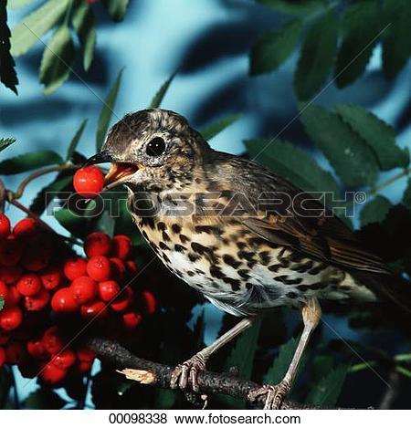 Pictures of Juniors, Turdidae, animal, animals, beak, beaks.