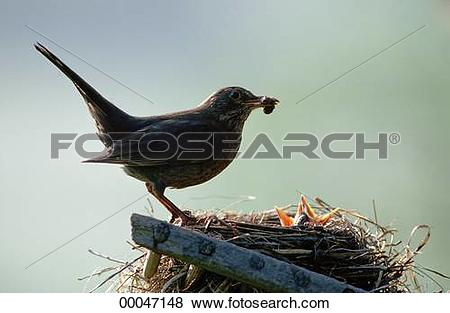 Pictures of Juniors, Turdidae, animal, animals, appetite, bird.