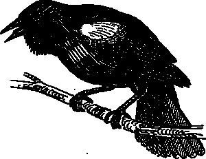 Turdus Merula Clip Art Download.
