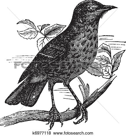 Clip Art of Thrush itself (Turdus musicus) or Redwing vintage.