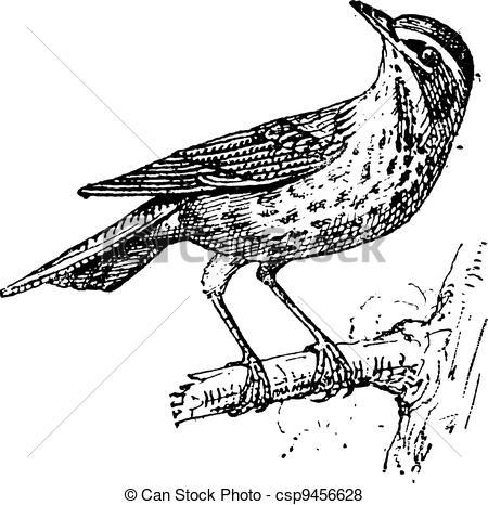 Vector of Redwing or Turdus iliacus, vintage engraving.