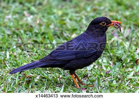 Stock Photo of Black Bird (Turdus merula) x14463413.