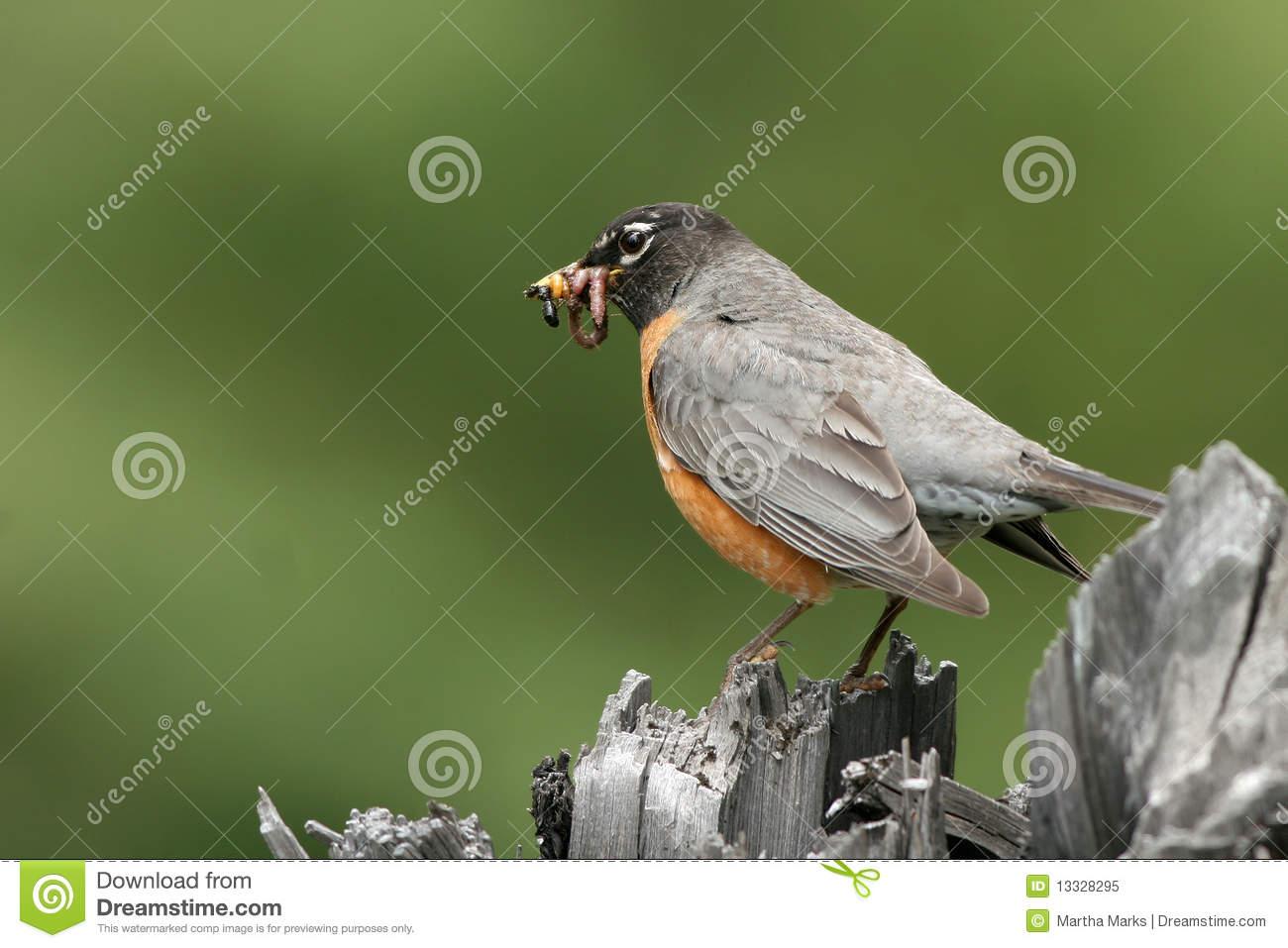 Robin Beak Clipart.
