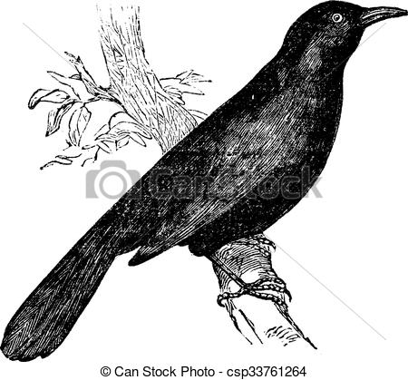 Clip Art Vector of Common blackbird (Turdus merula) or Eurasian.
