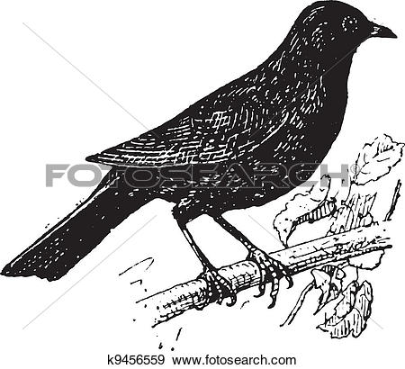 Clip Art of Common Blackbird or Turdus merula, vintage engraving.