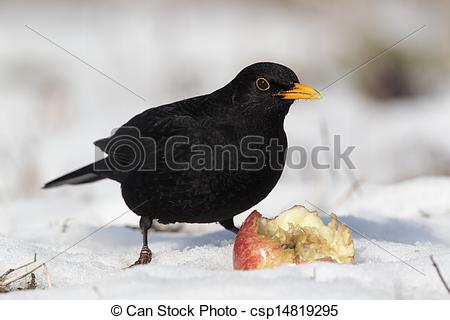 Stock Photographs of Blackbird, Turdus merula, single male eating.
