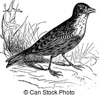 EPS Vectors of Common Blackbird or Turdus merula, vintage.