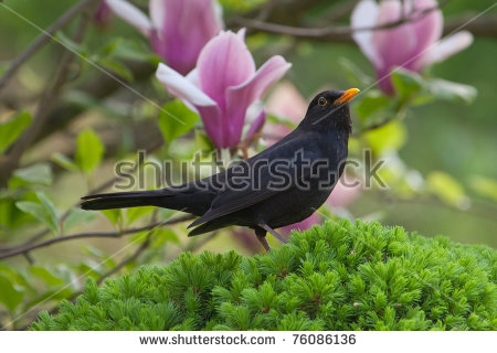 Turdus Merula Stock Photos, Royalty.