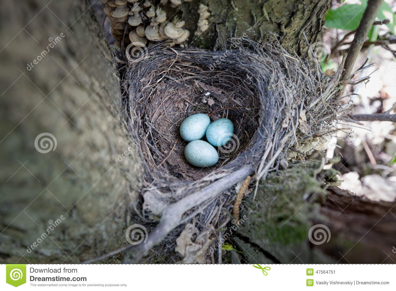 Eggs. Turdus Merula, Blackbird. Stock Photo.