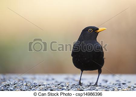 Stock Photographs of Common Blackbird (Turdus merula) at a feeder.