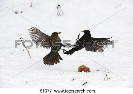 Picture of two Common Blackbirds.