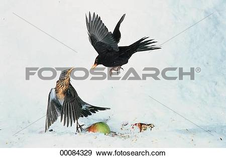 Stock Photograph of Juniors, Turdidae, Turdus merula, animal.