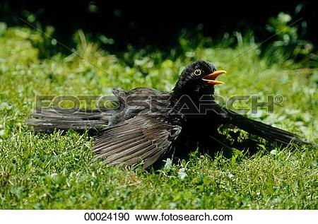 Stock Photography of Europe, Juniors, Turdus merula, animal.