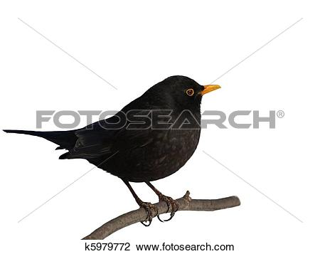 Stock Photo of Eurasian Blackbird, Turdus merula k5979772.