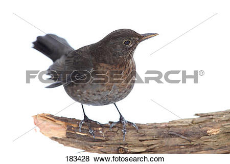 Pictures of Blackbird (Turdus merula). Female standing on a broken.