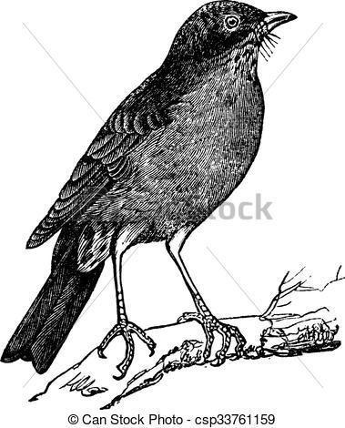 Clipart Vector of American Robin (Turdus migratorius) vintage.