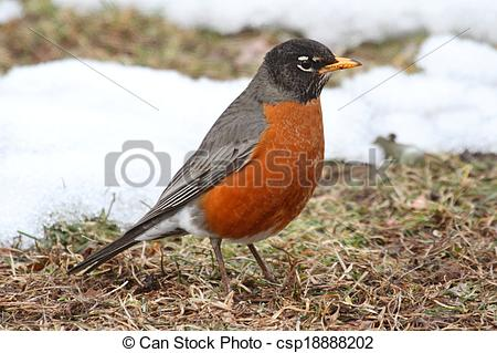 Stock Photography of American Robin (Turdus migratorius) on a lawn.