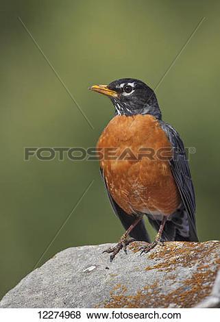 Pictures of North American robin (Turdus migratorius); Montreal.