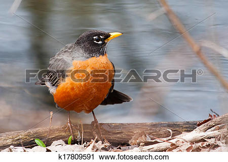 Stock Photography of Front view of American robin, turdus.