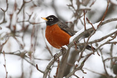 American Robin (turdus Migratorius) Royalty Free Stock Images.