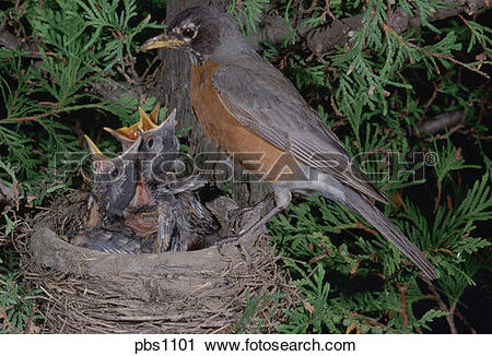 Stock Photography of American Robin (Turdus migratorius) at nest.