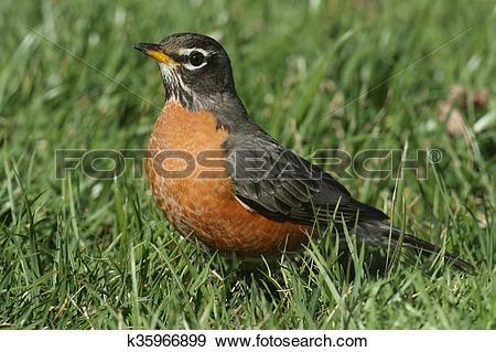 Stock Photograph of Male American Robin (Turdus migratorius.