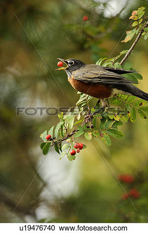 Stock Photography of American robin (Turdus migratorius) foraging.