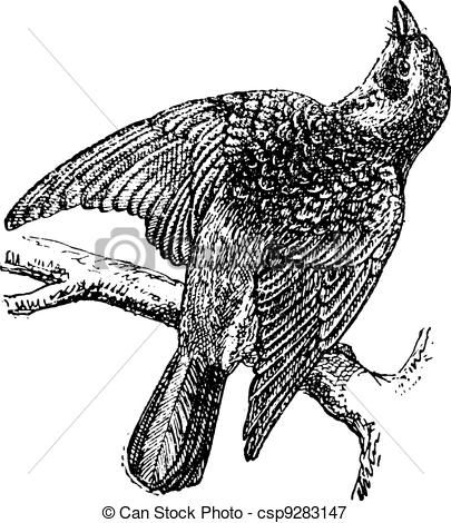 Vectors Illustration of Fieldfare or Turdus pilaris, vintage.