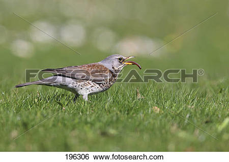 Stock Images of Fieldfare (Turdus pilaris) Adult eating an.