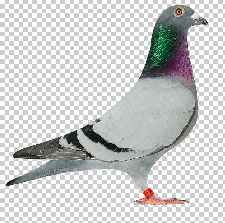 Homing Pigeon Racing Homer Fantail Pigeon Indian Fantail.