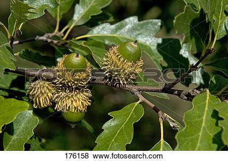 Pictures of Turkey Oak (Quercus cerris), twig with unripe acorns.