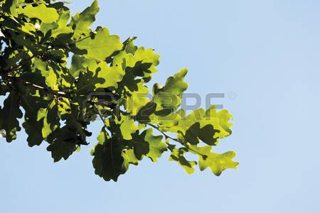 Turkey Oak Stock Photos, Pictures, Royalty Free Turkey Oak Images.