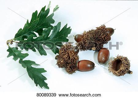 Stock Photograph of DEU, 2004: Turkey Oak (Quercus cerris), leaves.