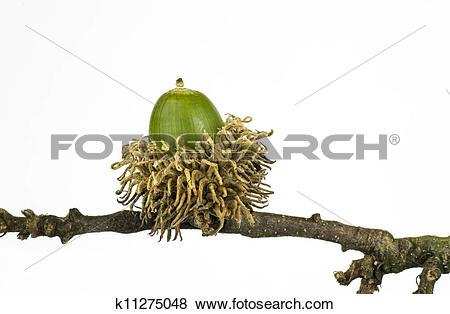 Pictures of European turkey oak fruit k11275048.