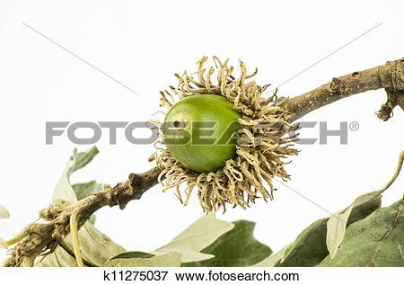 Picture of European turkey oak fruit k11275037.