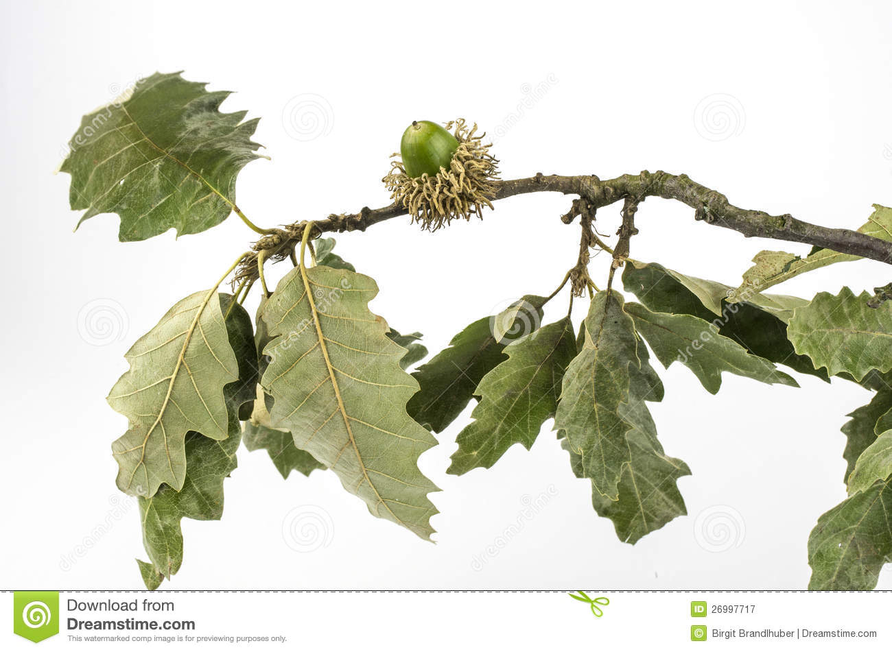 Wood Background Of European Oak Royalty Free Stock Image.