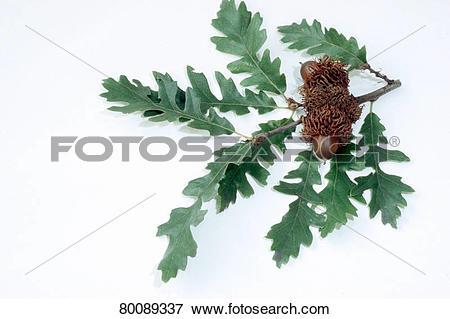 Picture of DEU, 2004: Turkey Oak (Quercus cerris), twig with.