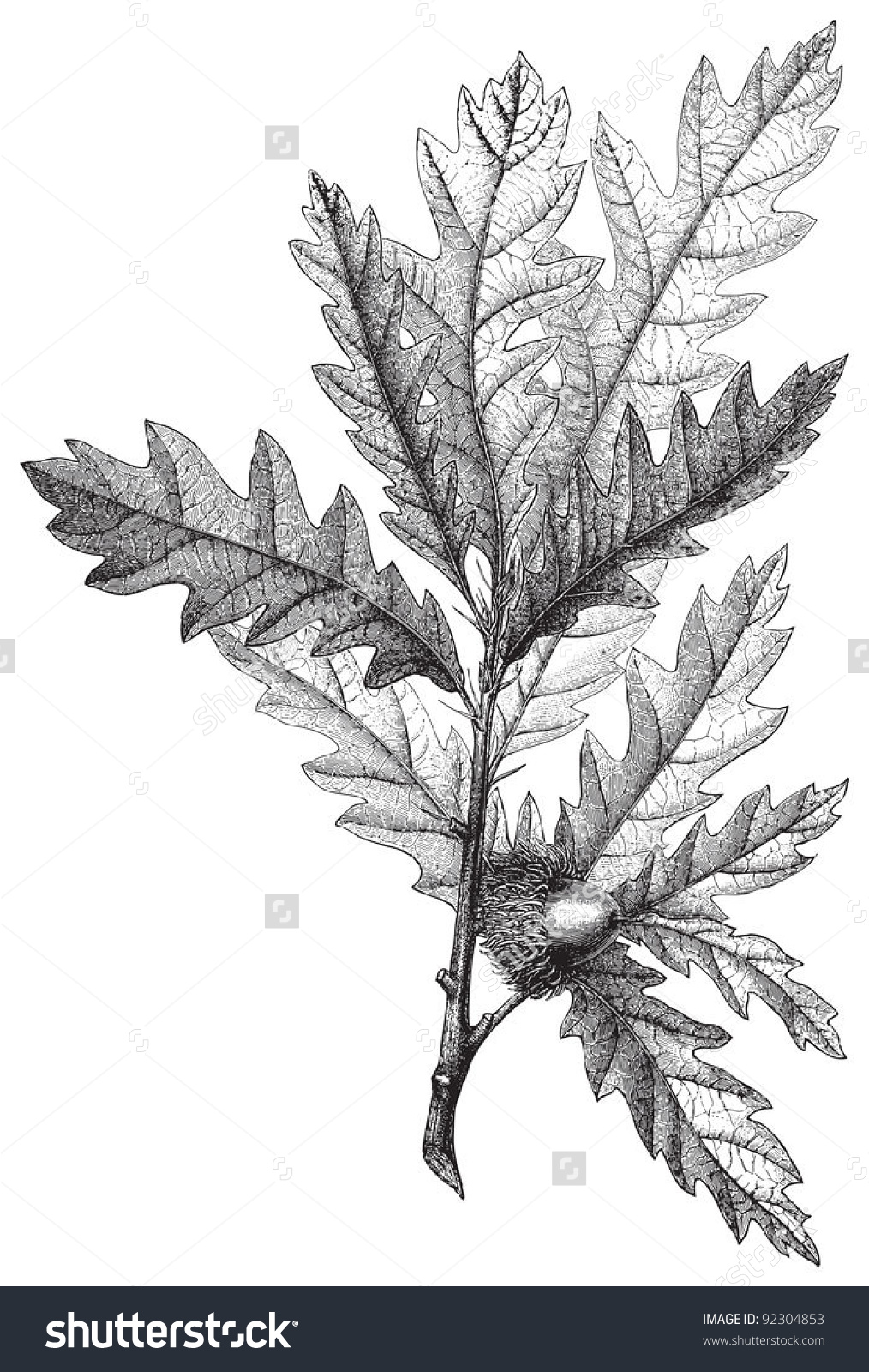 Turkey Oak (Quercus Cerris) / Vintage Illustration From Meyers.