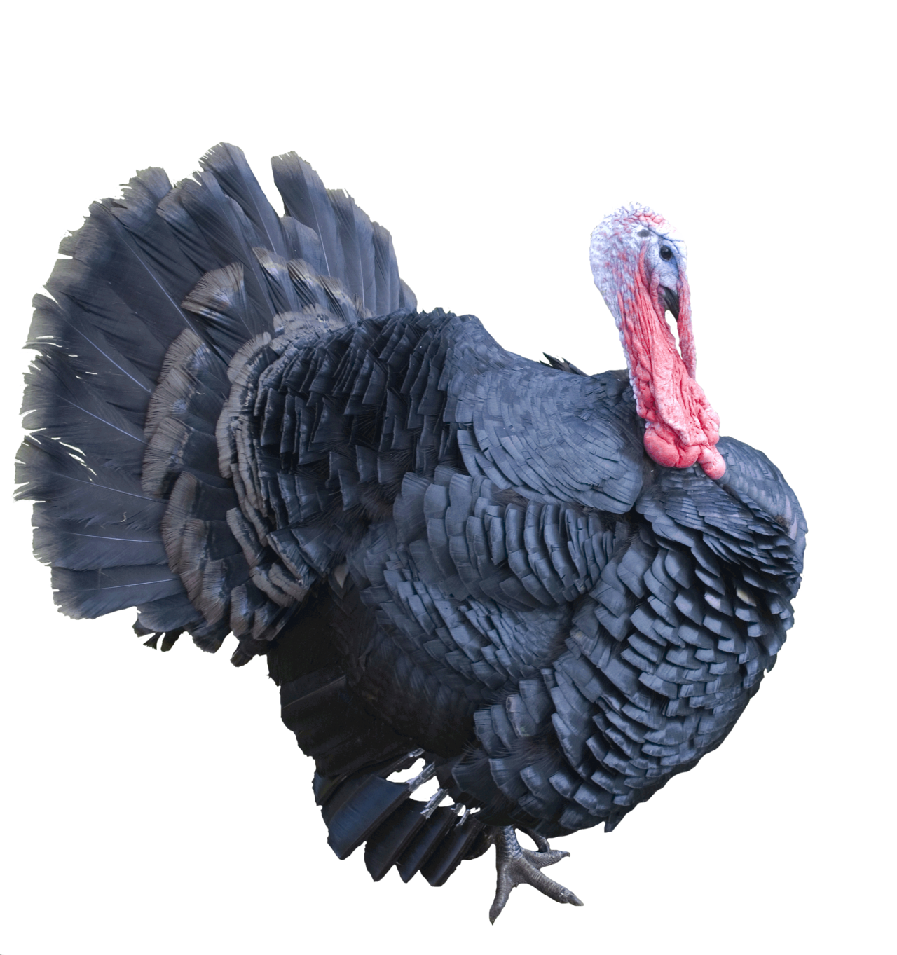 Best Free Turkey Png Image #20356.