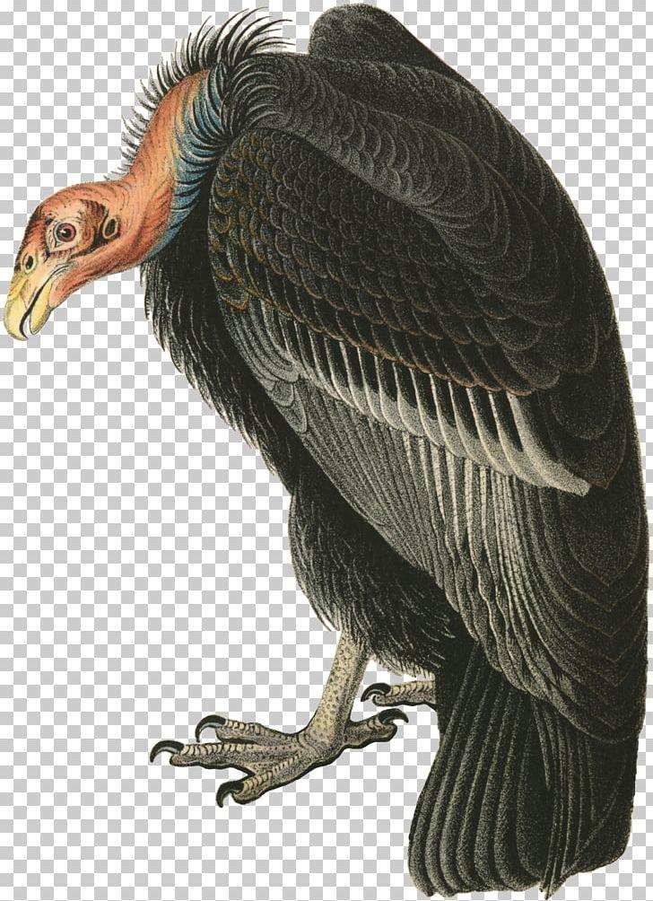 Turkey Vulture The Birds Of America Beaky Buzzard PNG.